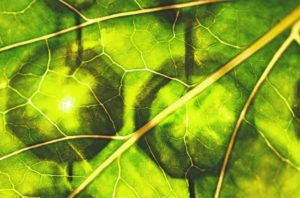 Chlorofyl, zelený list